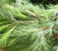 Fresh White Pine Garland Rope Per Foot