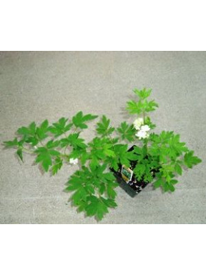 "Perennial Flowers In A 6"" Pot"