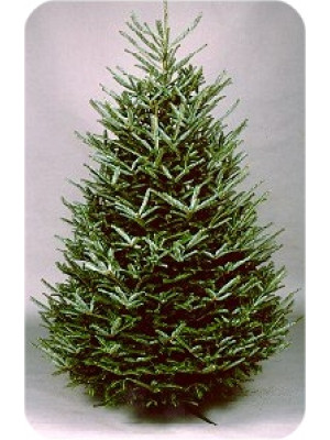 6' to 7' Fraser Fir Fresh Christmas Tree