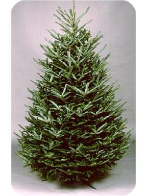 8' to 9' Fraser Fir Fresh Christmas Tree