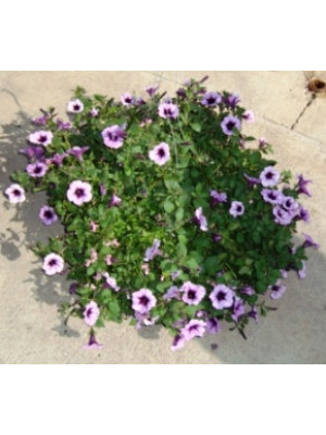 Large Annual Hanging Flower Baskets