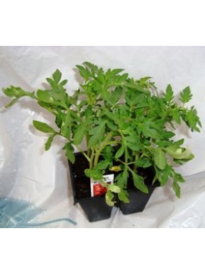 Four Cell Pack Vegetable Plants