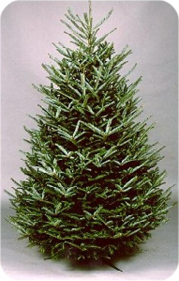 12' To 13' Fresh Fraser Fir Christmas Tree
