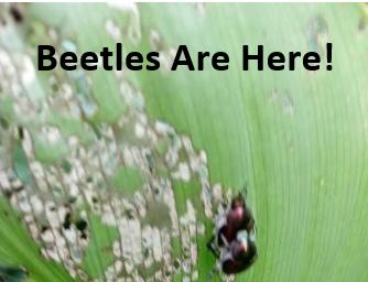 Beetles here
