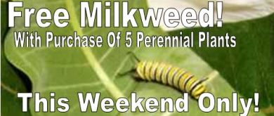 Free Milkweed