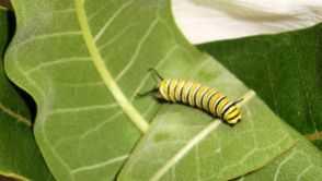 Monarch caterpiller